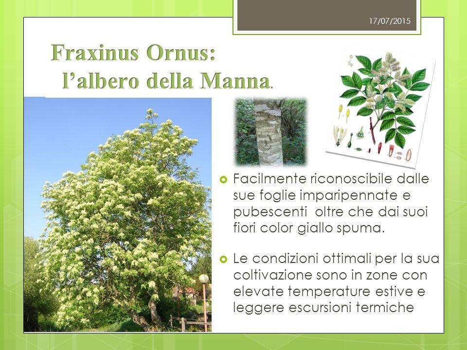 Fraxinus Ornus: l'albero della Manna.