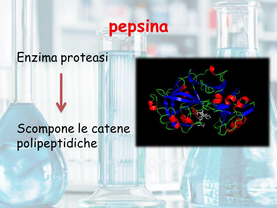 pepsina Enzima proteasi Scompone le catene polipeptidiche