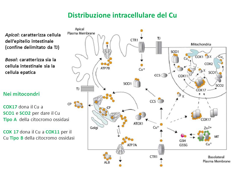 Distribuzione intracellulare del Cu