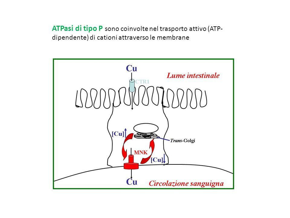 ATPasi di tipo P sono coinvolte nel trasporto attivo (ATP-dipendente) di cationi attraverso le membrane