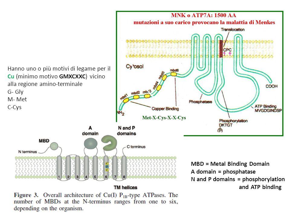 Hanno uno o più motivi di legame per il Cu (minimo motivo GMXCXXC) vicino alla regione amino-terminale