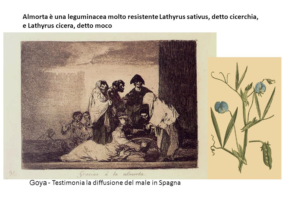 Almorta è una leguminacea molto resistente Lathyrus sativus, detto cicerchia,