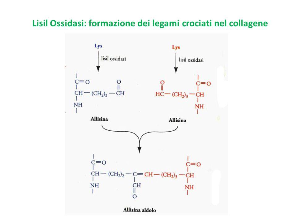 Lisil Ossidasi: formazione dei legami crociati nel collagene