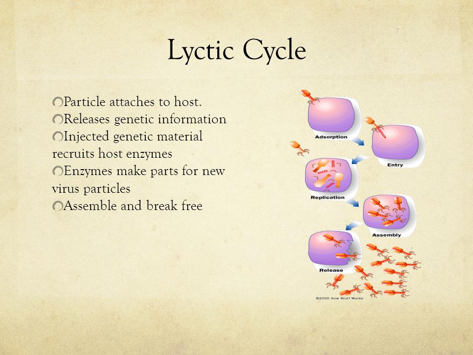 Lyctic Cycle Particle attaches to host. Releases genetic information