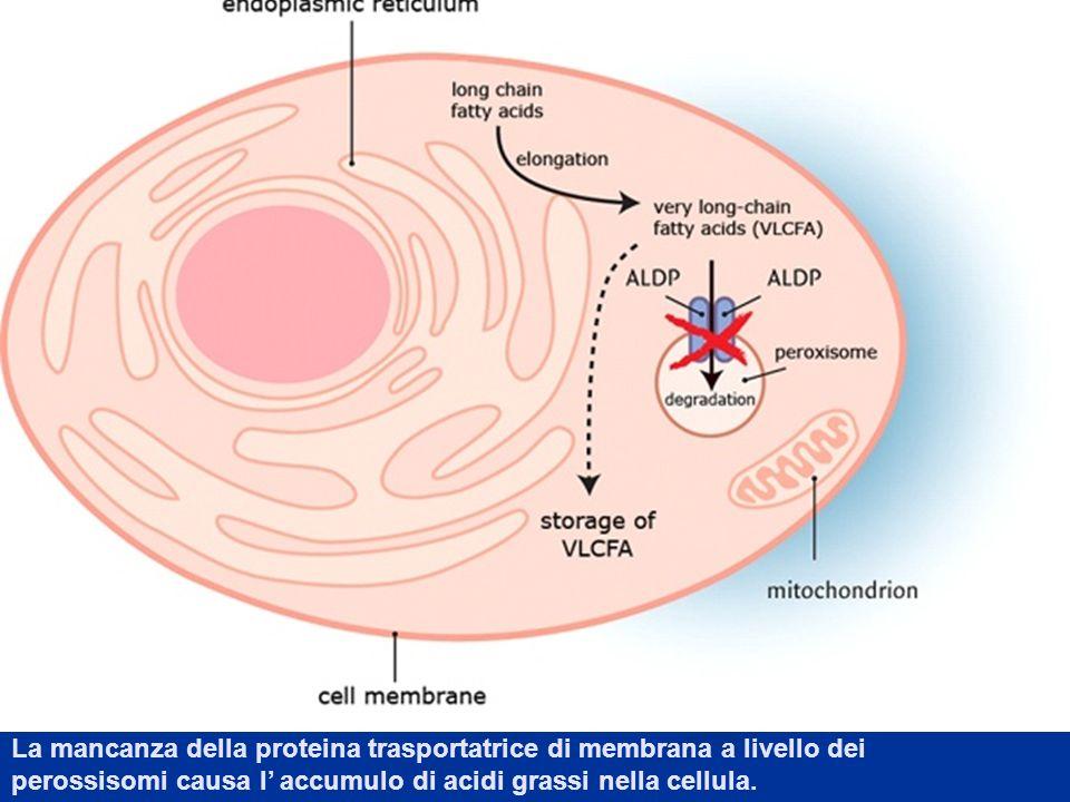 La mancanza della proteina trasportatrice di membrana a livello dei perossisomi causa l' accumulo di acidi grassi nella cellula.