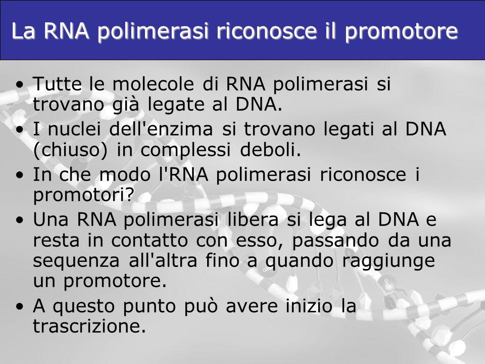 La RNA polimerasi riconosce il promotore