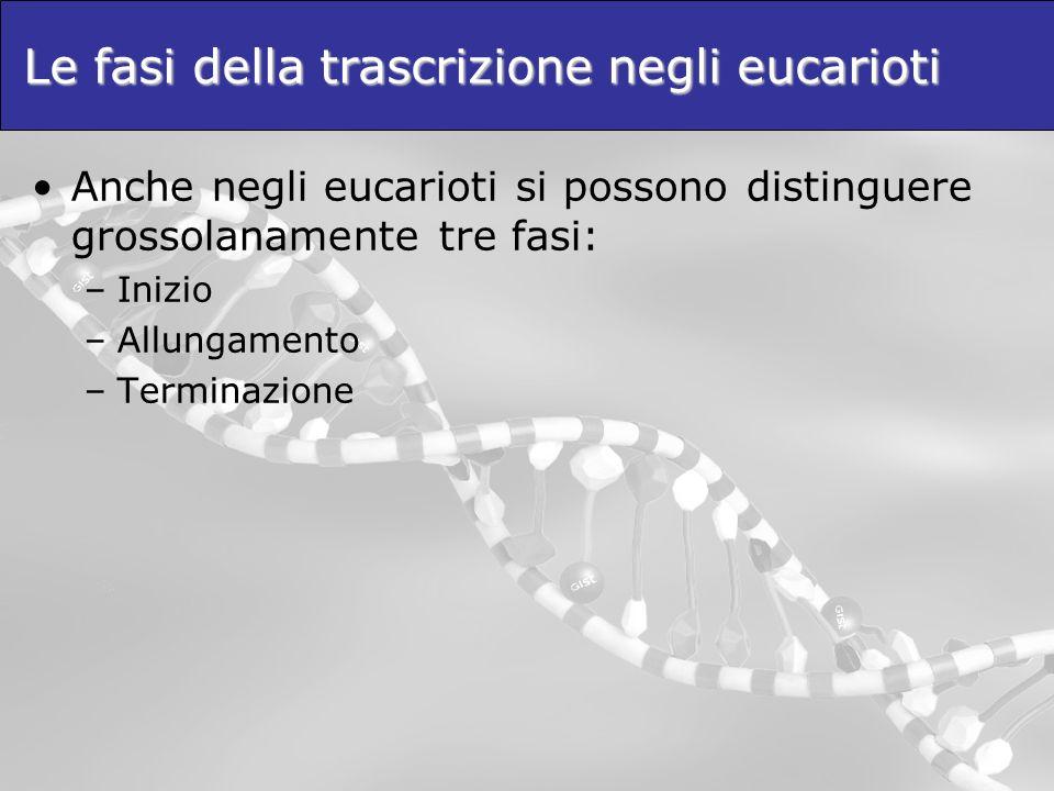 Le fasi della trascrizione negli eucarioti