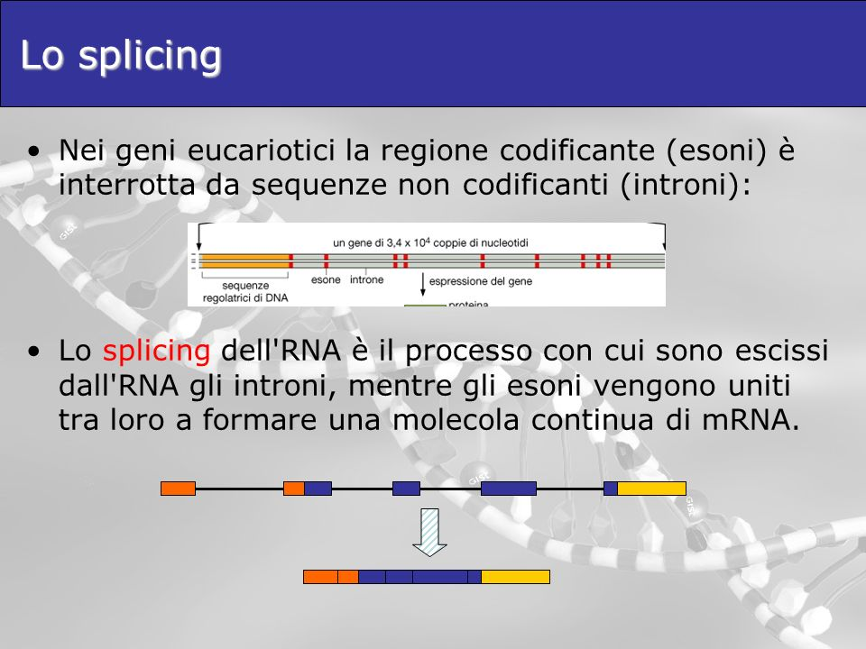 Lo splicing Nei geni eucariotici la regione codificante (esoni) è interrotta da sequenze non codificanti (introni):