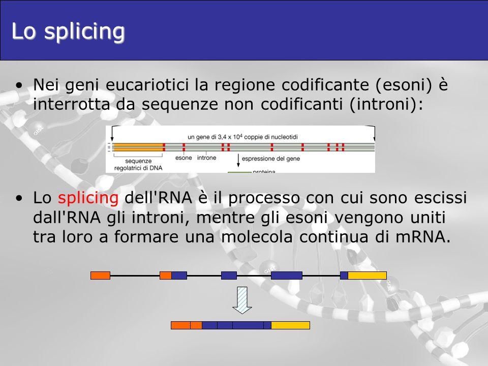 Lo splicing Nei geni eucariotici la regione codificante (esoni) è interrotta da sequenze non codificanti (introni):