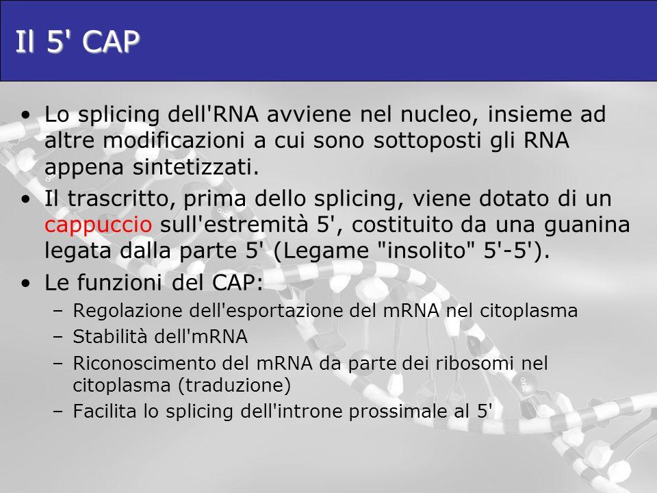Il 5 CAP Lo splicing dell RNA avviene nel nucleo, insieme ad altre modificazioni a cui sono sottoposti gli RNA appena sintetizzati.