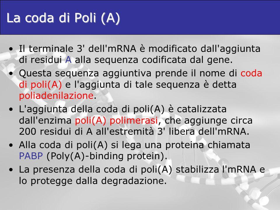 La coda di Poli (A) Il terminale 3 dell mRNA è modificato dall aggiunta di residui A alla sequenza codificata dal gene.