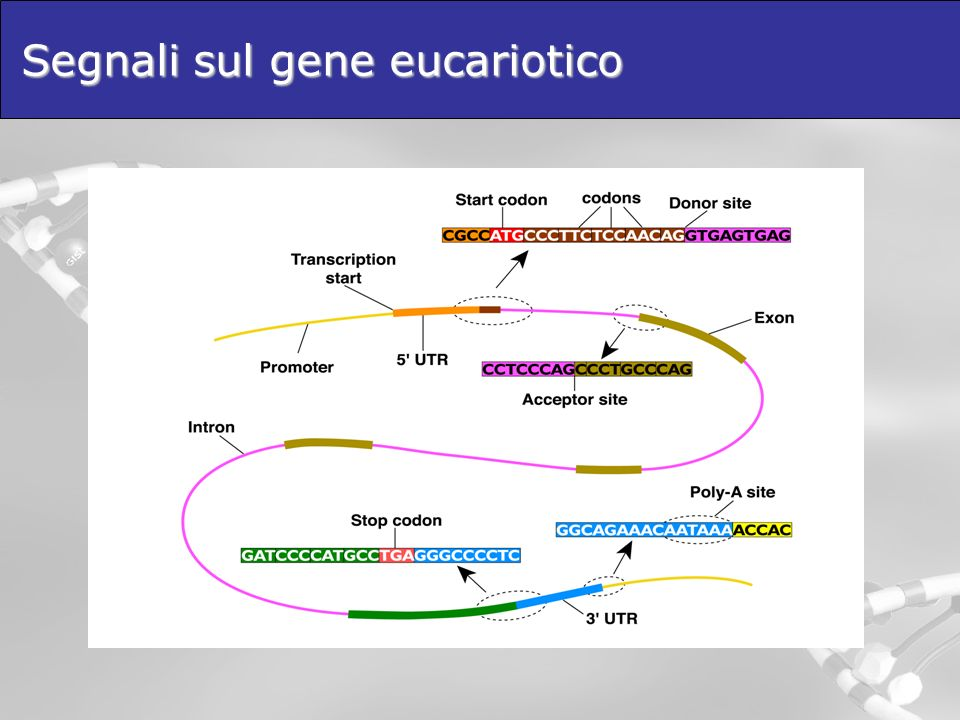 Segnali sul gene eucariotico