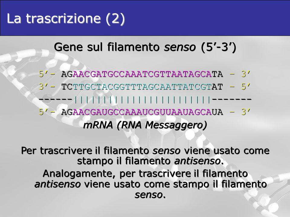 La trascrizione (2) Gene sul filamento senso (5'-3')