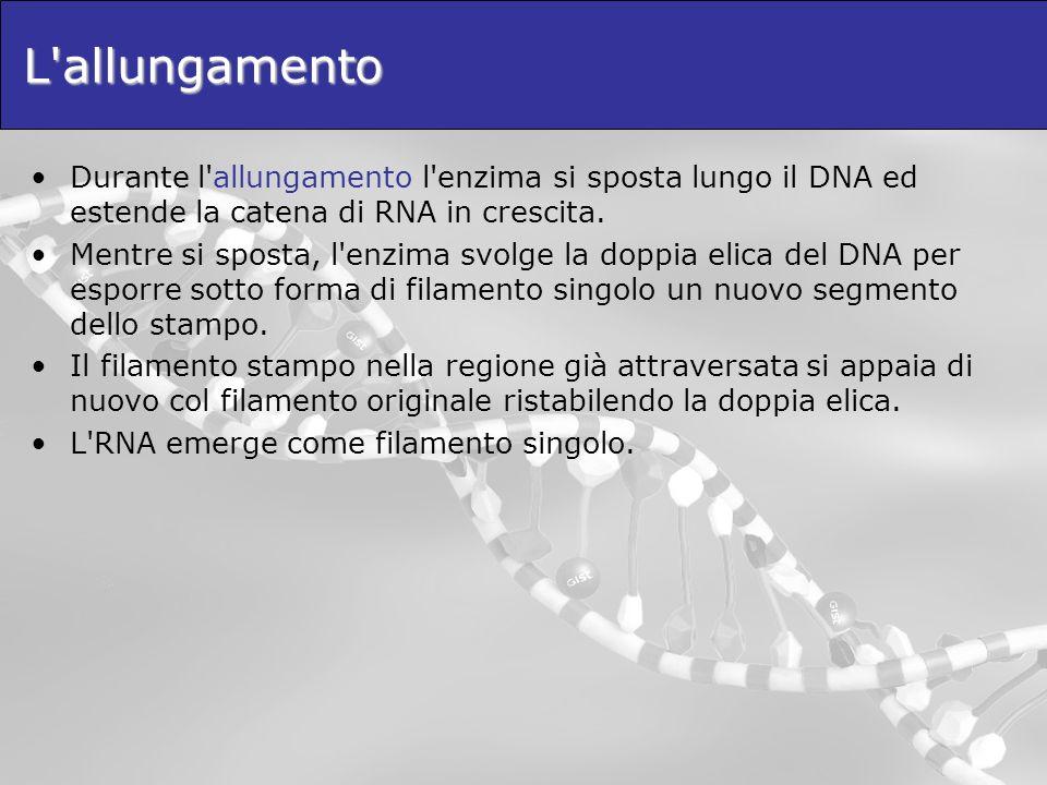 L allungamento Durante l allungamento l enzima si sposta lungo il DNA ed estende la catena di RNA in crescita.