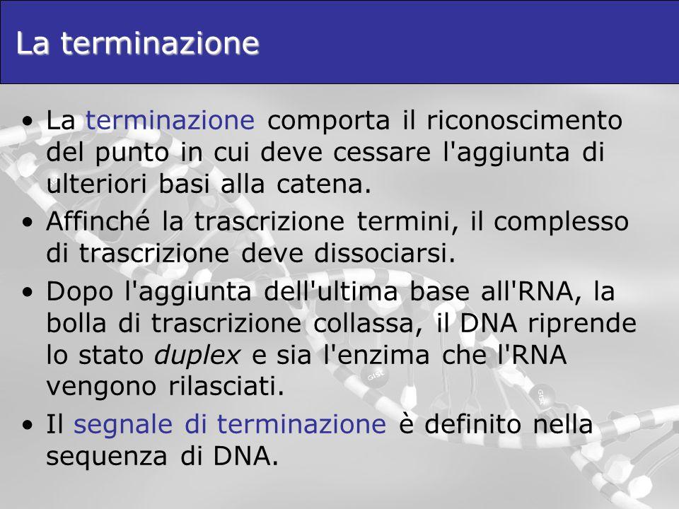 La terminazione La terminazione comporta il riconoscimento del punto in cui deve cessare l aggiunta di ulteriori basi alla catena.