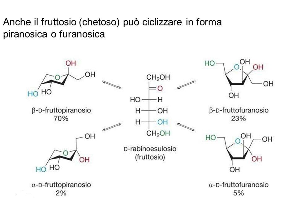 Anche il fruttosio (chetoso) può ciclizzare in forma piranosica o furanosica