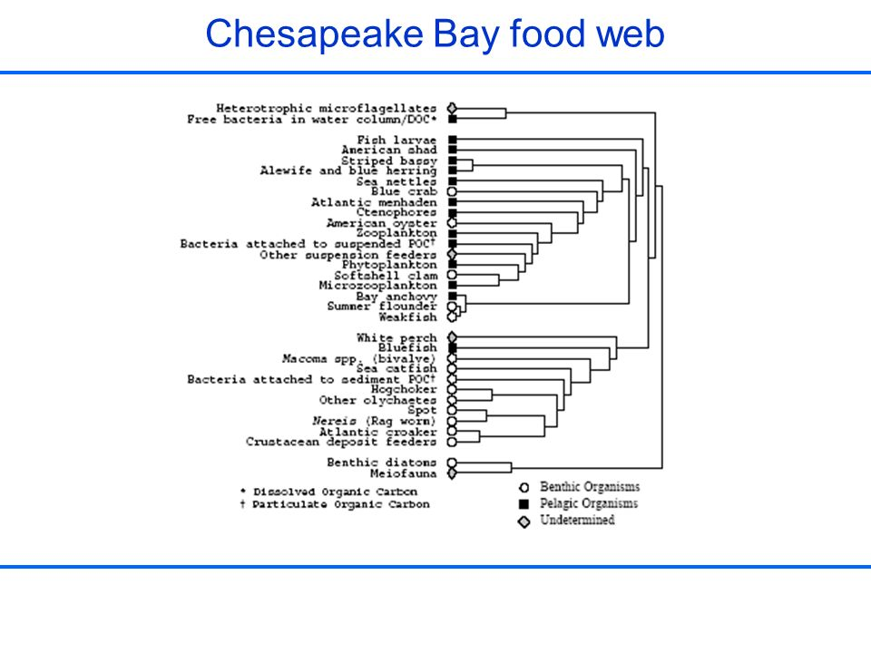 Chesapeake Bay food web