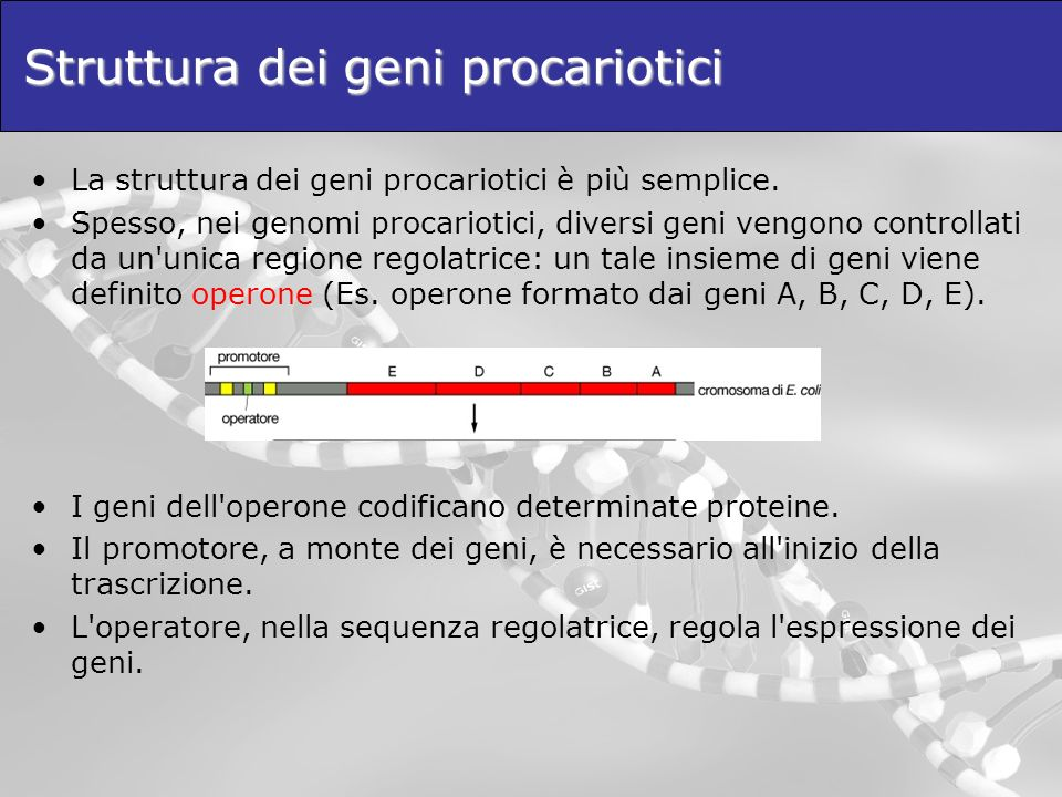 Struttura dei geni procariotici