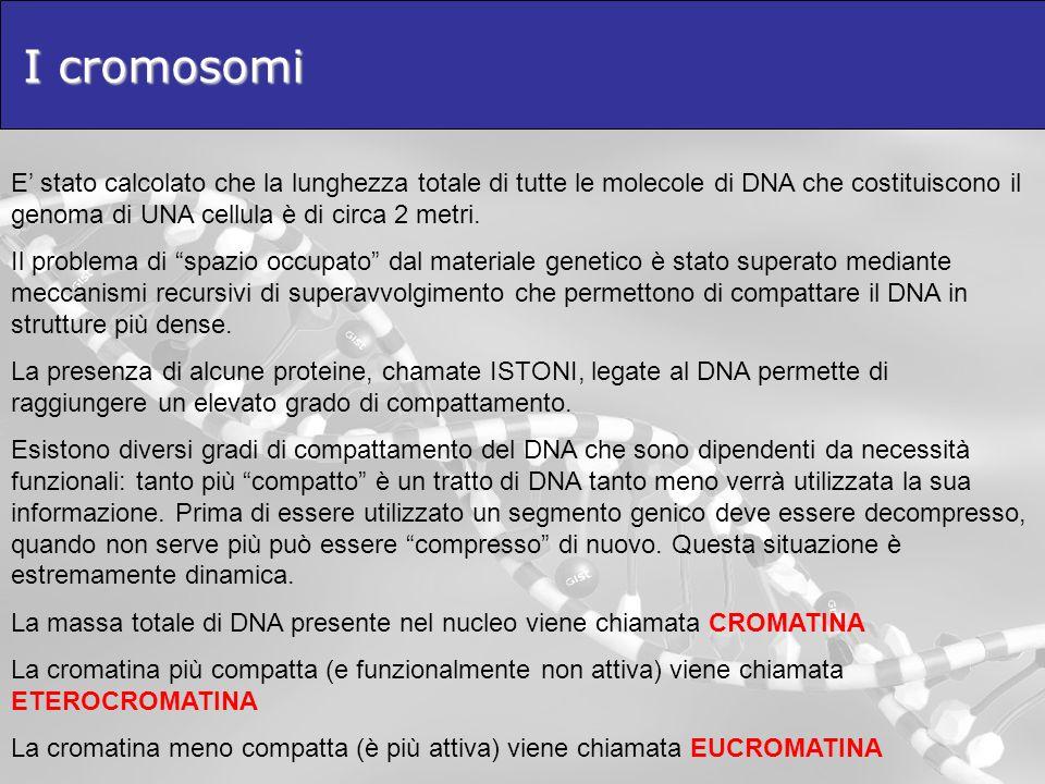 I cromosomi E' stato calcolato che la lunghezza totale di tutte le molecole di DNA che costituiscono il genoma di UNA cellula è di circa 2 metri.
