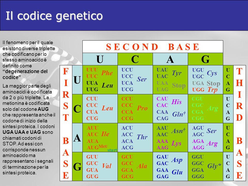 Il codice genetico U C A G S E C O N D B A S E T H I R D B S E F Gly*