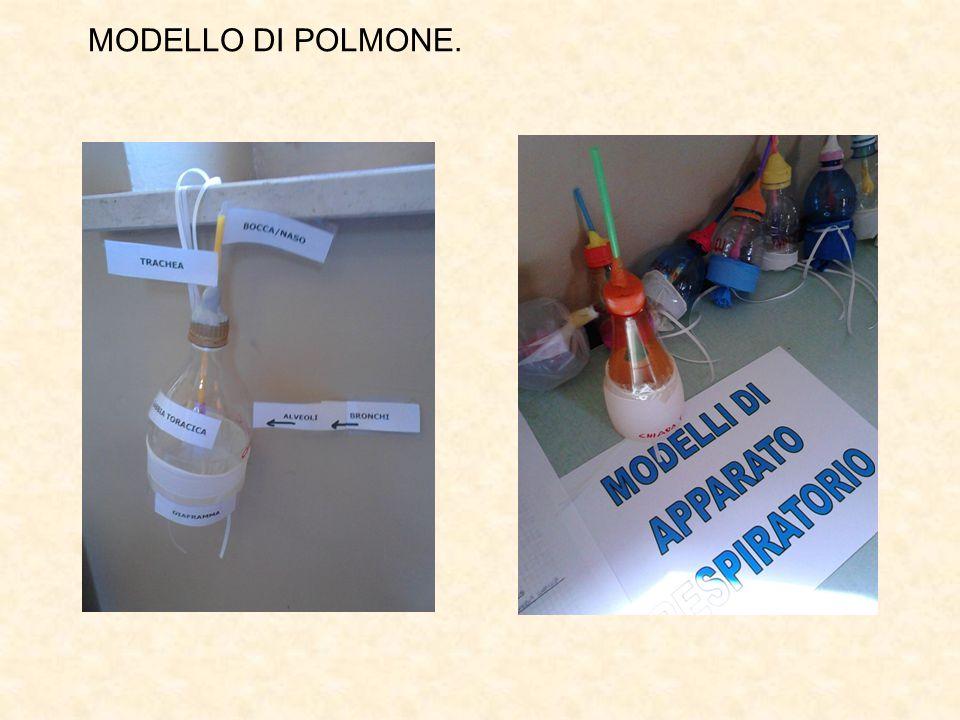 MODELLO DI POLMONE.