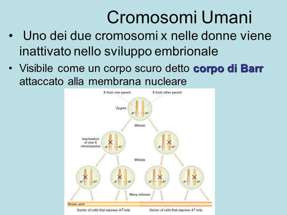 Cromosomi Umani Uno dei due cromosomi x nelle donne viene inattivato nello sviluppo embrionale.