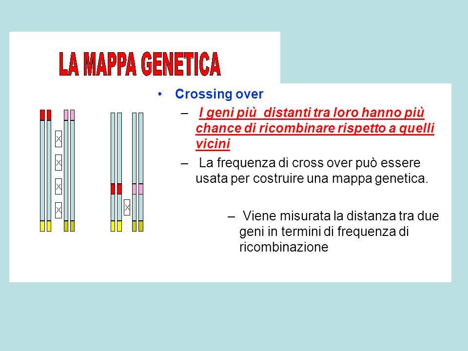 Crossing over I geni più distanti tra loro hanno più chance di ricombinare rispetto a quelli vicini.