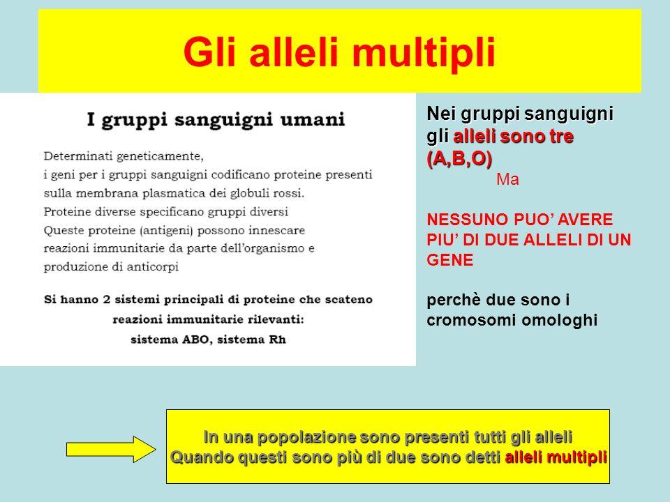 Gli alleli multipli Nei gruppi sanguigni gli alleli sono tre (A,B,O)