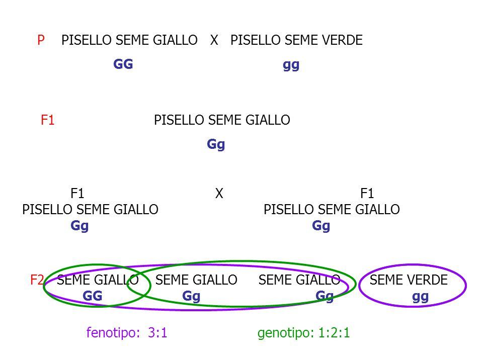 P PISELLO SEME GIALLO X PISELLO SEME VERDE
