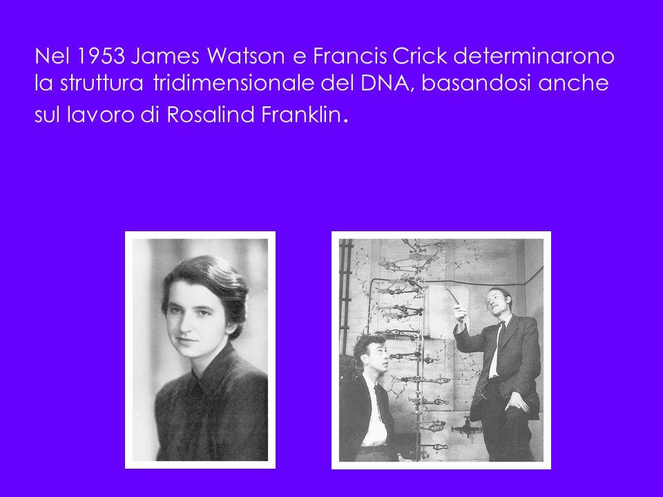 Nel 1953 James Watson e Francis Crick determinarono la struttura tridimensionale del DNA, basandosi anche sul lavoro di Rosalind Franklin.