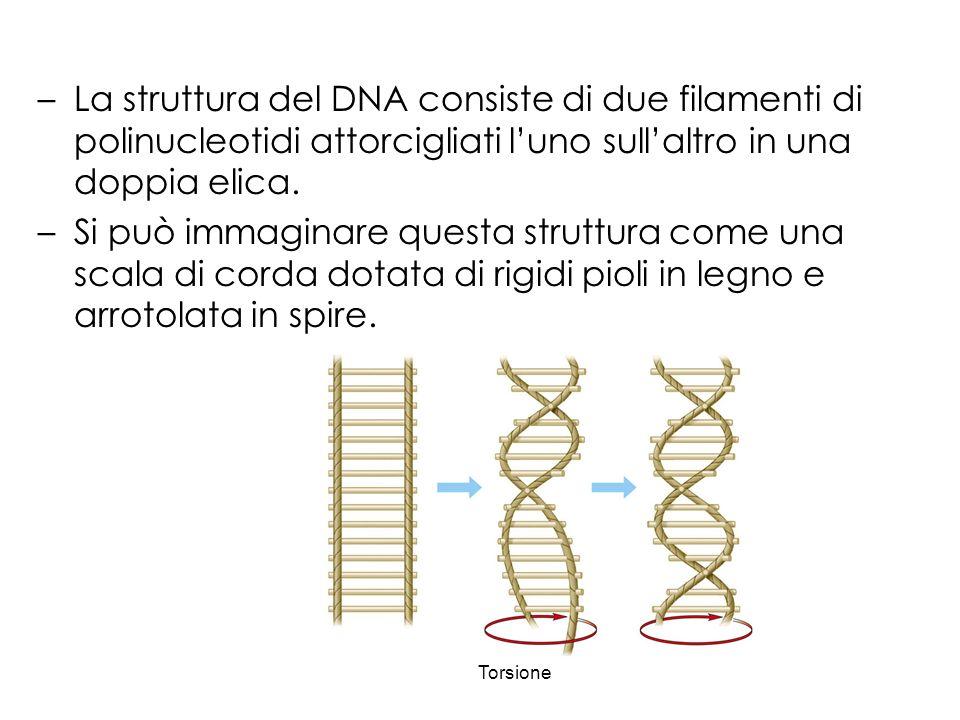 La struttura del DNA consiste di due filamenti di polinucleotidi attorcigliati l'uno sull'altro in una doppia elica.