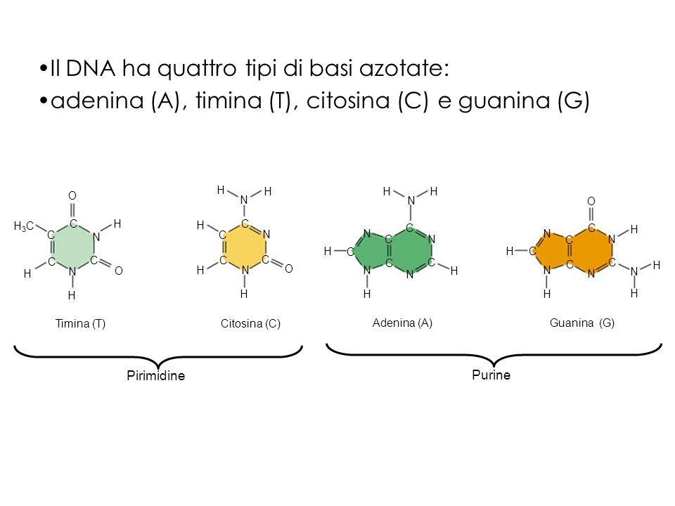 Il DNA ha quattro tipi di basi azotate:
