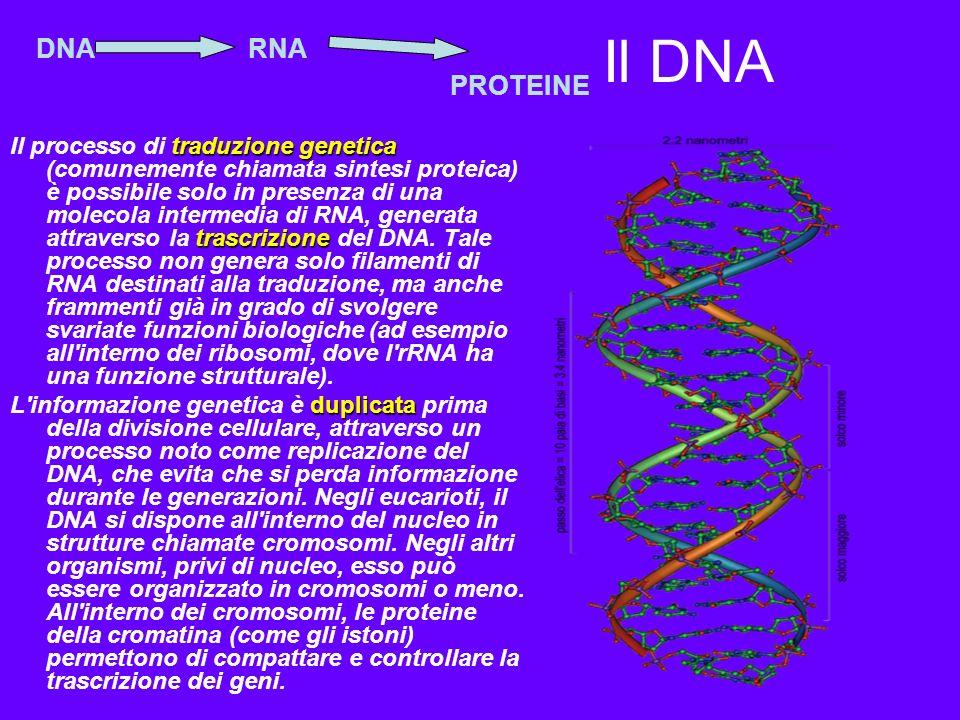 Il DNA DNA. RNA. PROTEINE.