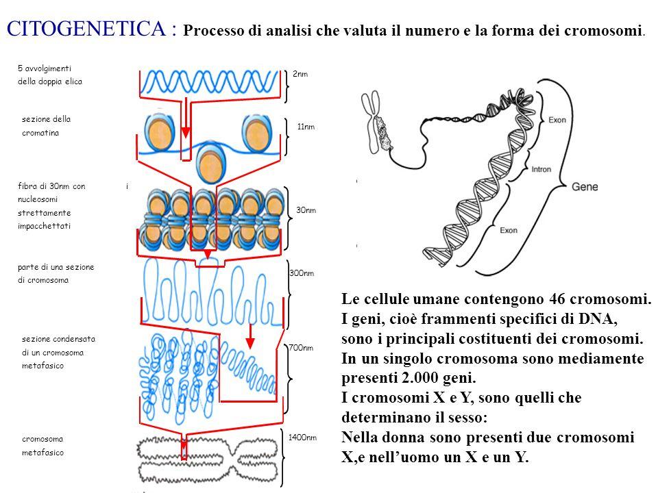 CITOGENETICA : Processo di analisi che valuta il numero e la forma dei cromosomi. sezione della. cromatina.