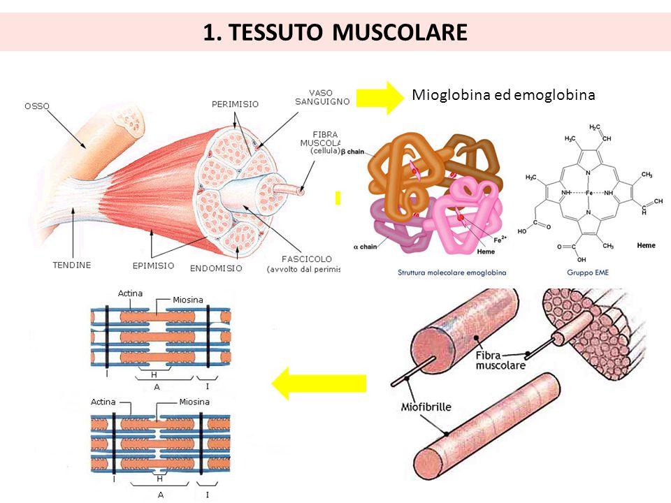 1. TESSUTO MUSCOLARE Mioglobina ed emoglobina