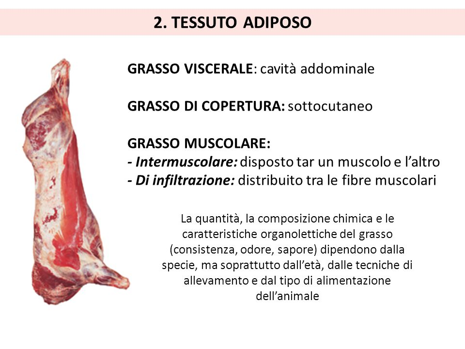 2. TESSUTO ADIPOSO GRASSO VISCERALE: cavità addominale