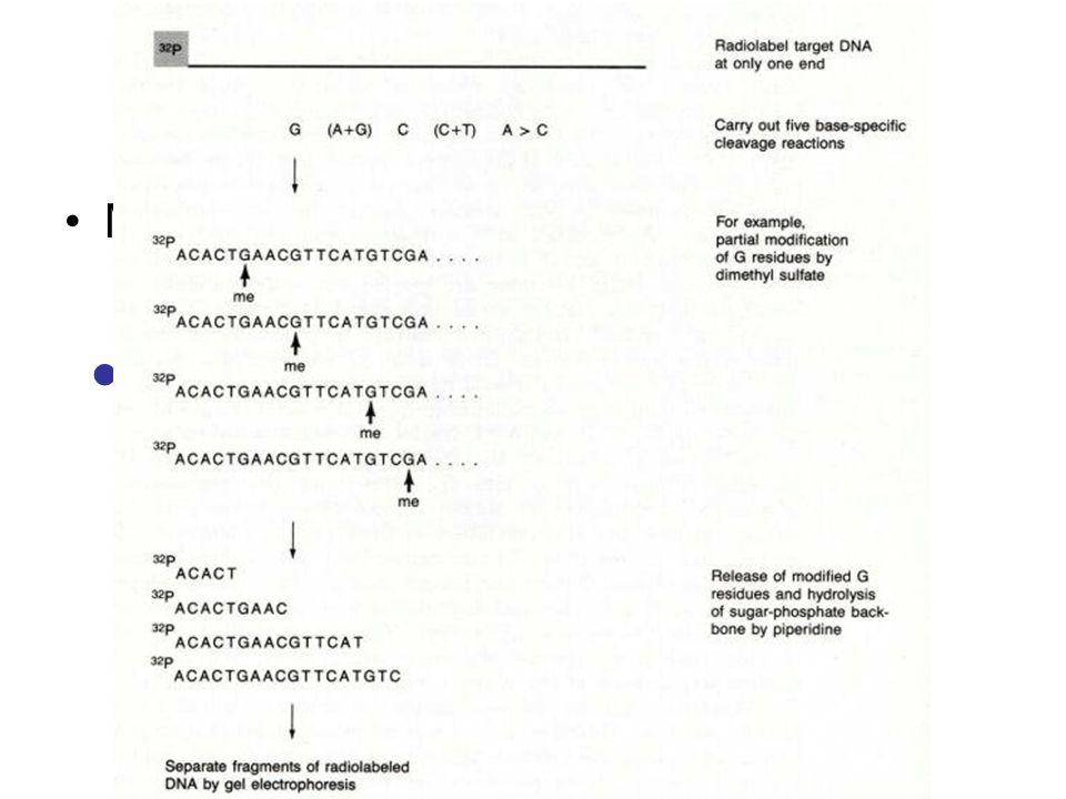 Sequenziamento Metodo di Maxam e Gilbert Limiti del Metodo