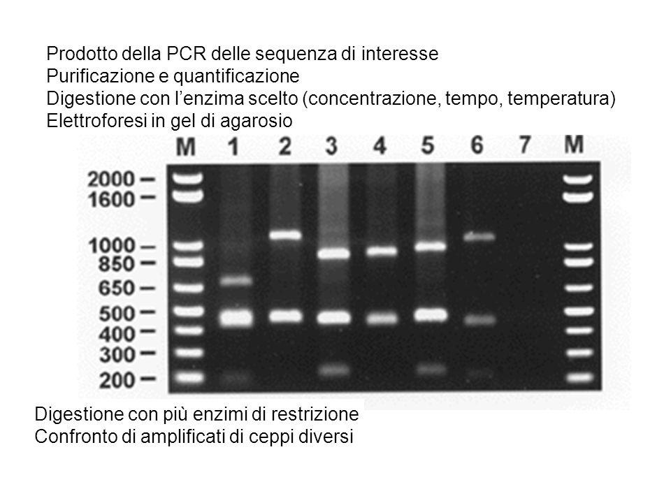 Prodotto della PCR delle sequenza di interesse