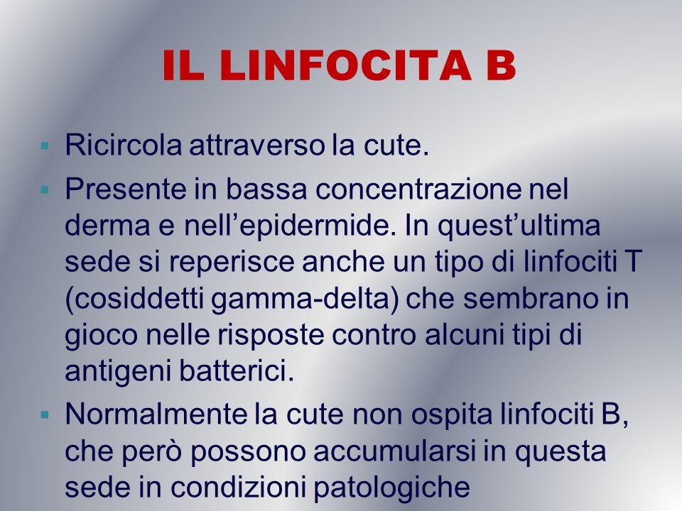 IL LINFOCITA B Ricircola attraverso la cute.