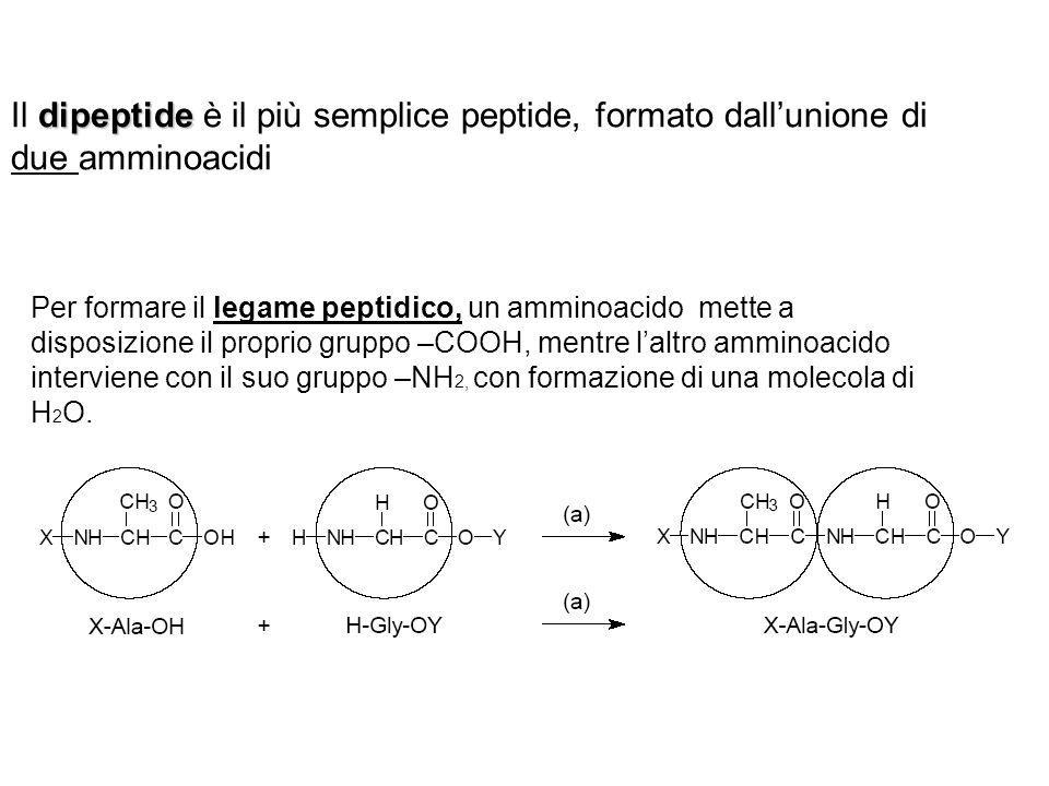Il dipeptide è il più semplice peptide, formato dall'unione di due amminoacidi