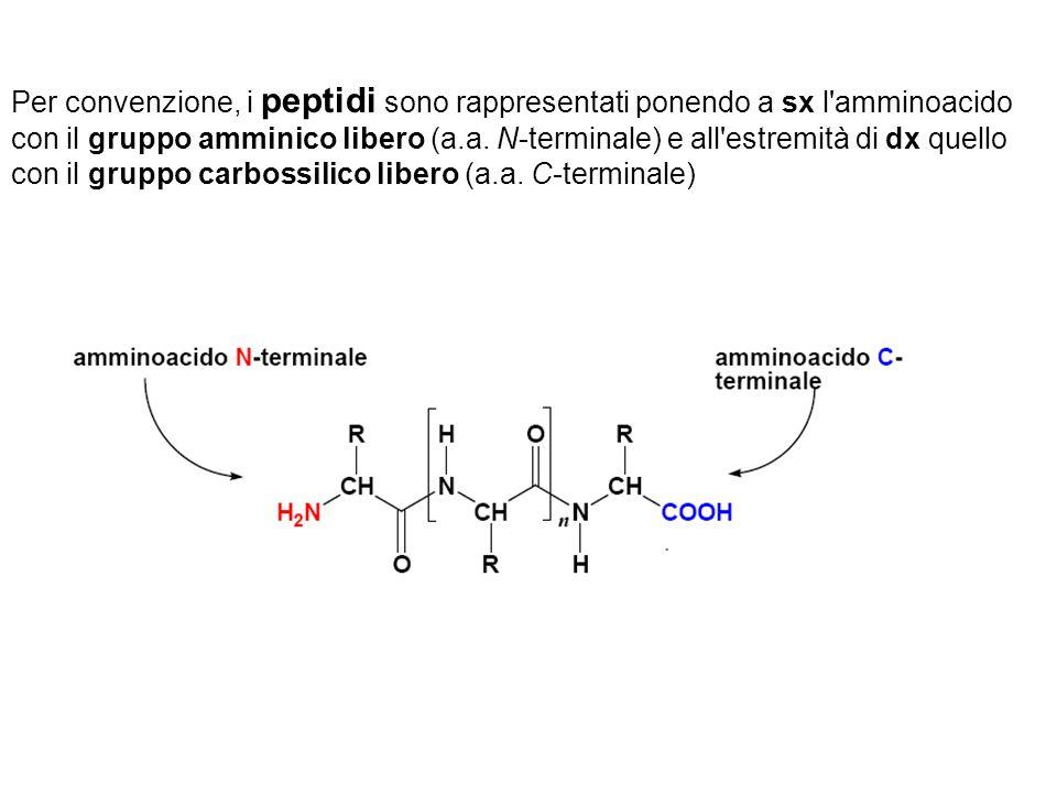 Per convenzione, i peptidi sono rappresentati ponendo a sx l amminoacido con il gruppo amminico libero (a.a.