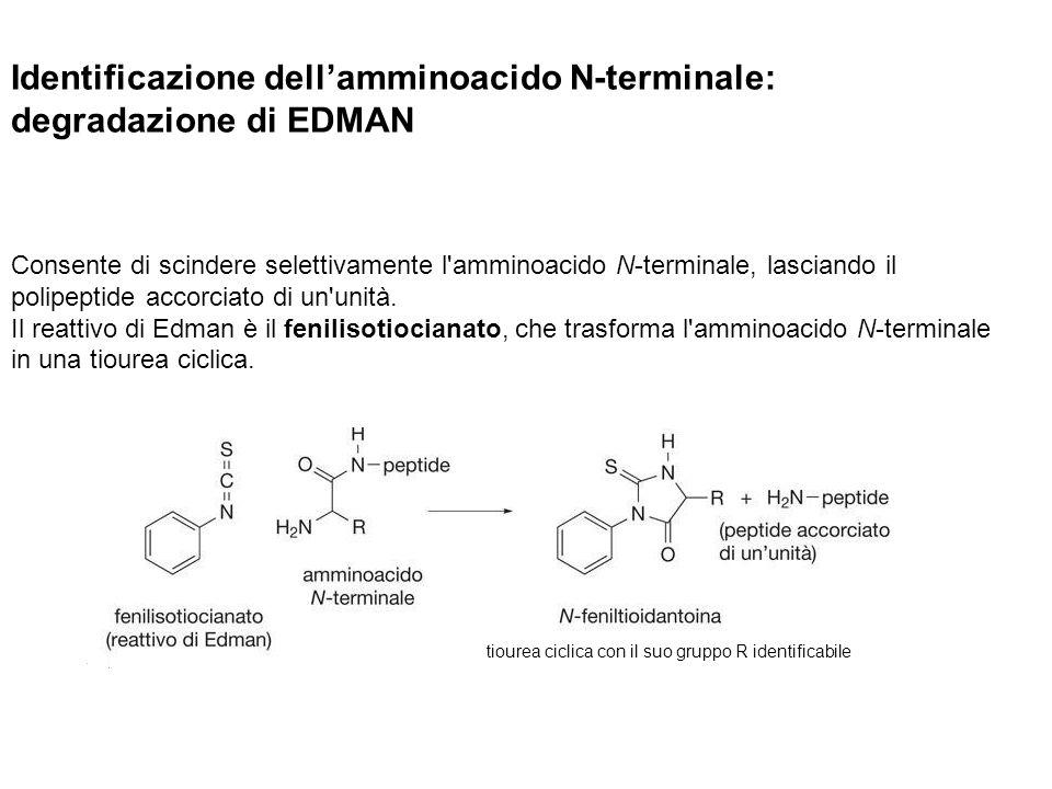 Identificazione dell'amminoacido N-terminale: degradazione di EDMAN