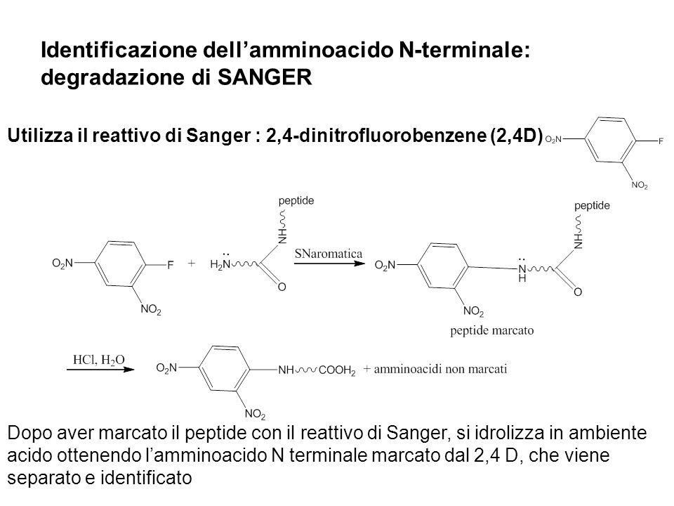Identificazione dell'amminoacido N-terminale: degradazione di SANGER