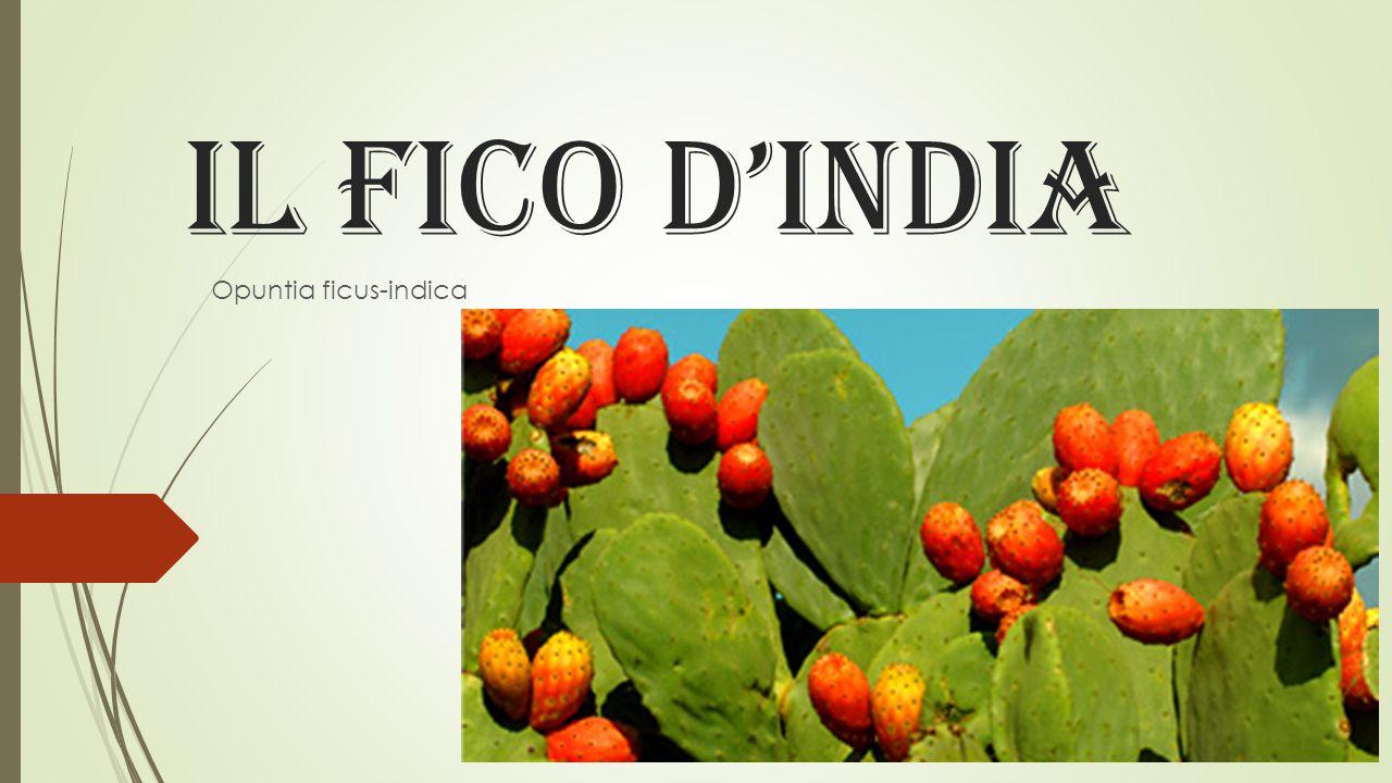 IL FICO D'INDIA Opuntia ficus-indica
