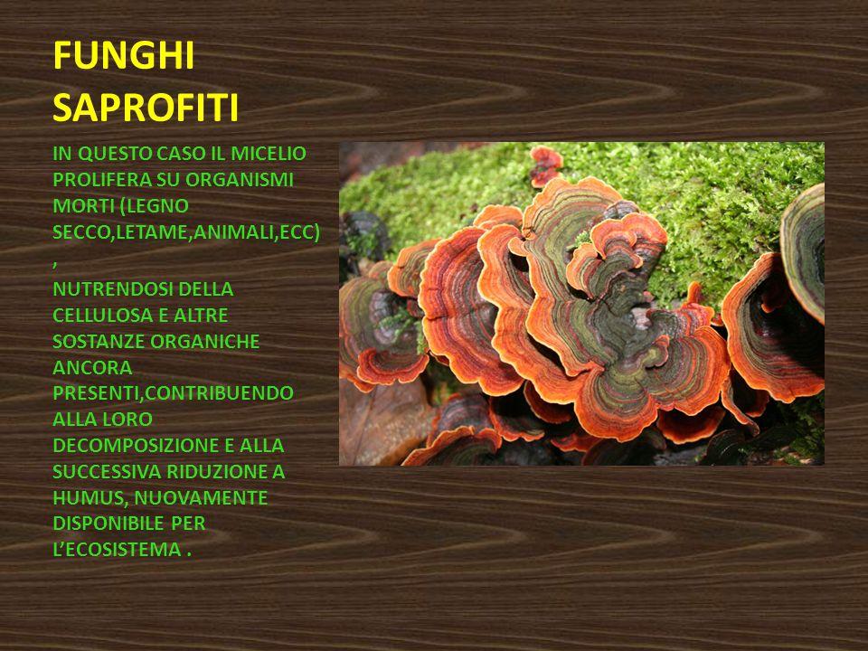 FUNGHI SAPROFITI IN QUESTO CASO IL MICELIO PROLIFERA SU ORGANISMI MORTI (LEGNO SECCO,LETAME,ANIMALI,ECC),