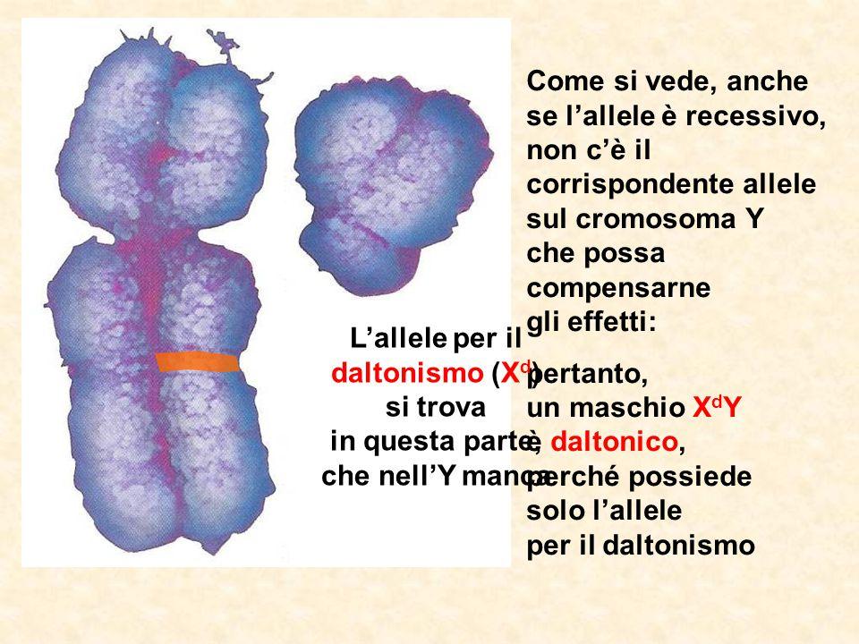 L'allele per il daltonismo (Xd) si trova