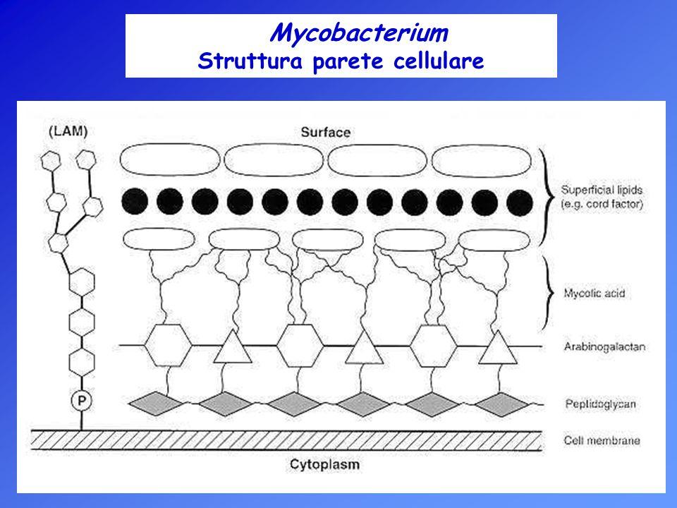 Struttura parete cellulare