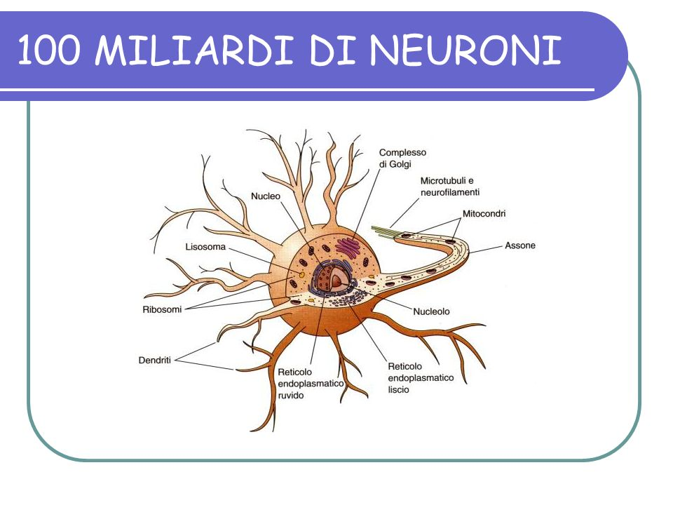 100 MILIARDI DI NEURONI
