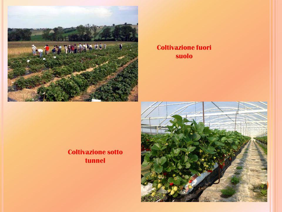 Coltivazione fuori suolo