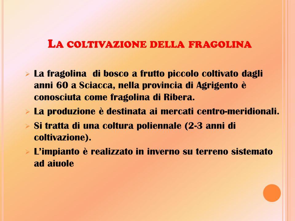 La coltivazione della fragolina
